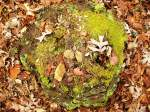 Photo of a moss covered tree stump with leaves, rocks, etc.